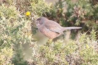 Dartford warbler (f)