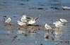 IMG_0300 (jpbordais) Tags: oiseaux dinard plage français mer côtedémeraude canon700d canon70300mmisusm birds sea beach