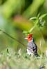 Cardenal Común - Red Crested Cardinal (wedoph) Tags: ave nikon bird redcrestedcardinal cardenal nikkor500f4 d500 campo naturaleza sanantoniodeareco