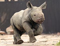 black rhino Blijdorp BB2A2488 (j.a.kok) Tags: rhino rhinoceros zwarteneushoorn blackrhinoceros neushoorn puntlipneushoorn africa afrika herbivore animal mammal zoogdier dier babyneushoorn babyrhino blijdorp