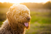 Afternoon Ease (Olizwell) Tags: dog goldendoodle honey goldenhour yellow countryside portrait