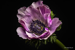 Anemone (Magda Banach) Tags: canon canon80d sigma150mmf28apomacrodghsm anemone blackbackground colors flora flower macro nature pink plants