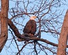 Bald Eagle at sunset (D Kaposi) Tags: baldeagle toronto january 2018 winter highpark