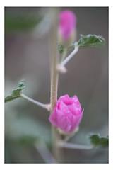 Wonder (pratyush-pandya.com) Tags: voigtlander voigtländer sony mirrorless macro macrophotography a7r2 arizona flower beauty pink nature naturephotography southwest ilce7rm2