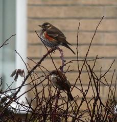 Redwing (Dun.can) Tags: bird snow winter leicestershire garden red redwing thrush sparrow tree bokeh