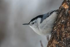 Sittelle a Poitrine  Blanche / White-breasted Nuthatch (ALLAN .JR) Tags: sitelleapoitrineblanche whitebreastednuthach oiseau bird nature wildlife nikon ilestbernard