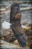Eagle Soaring (kathleen_kitto) Tags: eagle soaring whatcomcounty