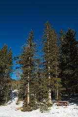 spruce (Tomás Harrison Fotos) Tags: windsortrail afsdxzoomnikkor1755mmf28gifed nikon d7100 hiking snow availablelight mountains landscape skibasin aspen santafe nm spruce austin tx usa