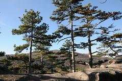 DSC_9031 The umbrella shaped pines are typical for the southern Vienna Woods, once planted for gaining resin, Castle Rauhenstein, Baden near Vienna, 26.12.2015 (MQ73) Tags: baden badenbeiwien badennearvienna austria loweraustria niederösterreich österreich historical historisch kindheit schirmföhre schwarzkiefer timber log wood fores viennawoods wienerwald trees baum bäume stamm stämme ruinerauheneck ruinrauheneck castlerauheneck castle ruin ruine mittelalter medieval darkage mauer gemäuer wall