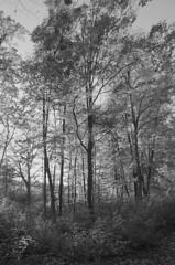 _Schwarzenbergpark_2017_05 (rhomboederrippel) Tags: rhomboederrippel fujifilm xe1 october 2017 europe austria vienna neuwaldegg 17thdistrict 17bezirk hernals schwarzenbergpark tree autumn monochrome bw forest park sunny clearsky astoundingimage