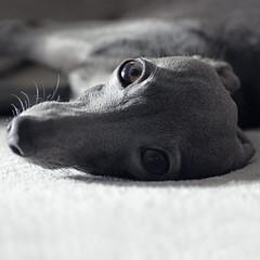 Dolce Far Niente (@dora_figalga) Tags: dolcefarniente sunday lazy siesta dolcevita chill cute sweet lazydog doglife doglover dogphoto greydog lb cutedog doogler bestwoof instagram iggy greyhound dog dora dorafigalga