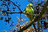 Psittacula krameri (lnfran85) Tags: bird pássaro cotorra invasora psittacula uc jardim botânico universidade
