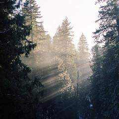 River Crossing (Aaron Bieleck) Tags: hasselblad500cm 120film analog 6x6 square film filmisnotdead hasselblad mediumformat wlvf oregon outdoors landscape light sunbeams mackenzieriver pnw pacificnorthwest fujipro160s forest trees winter 150mmct