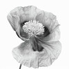 Another dig in the archives (Funchye) Tags: poppy flower blomst valmue nikon d610 60mm monochrome