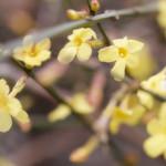 Herald of Spring? / Vorbote des Frühlings? thumbnail
