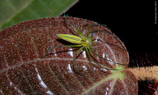 Unknown lynx spider from Singapore