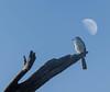 Morning Watch-2 (briarphotos) Tags: briarphotos nikon nikon18200mm mockingbird moon