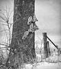 Go Climb A Tree!   ....HFF! (jackalope22) Tags: hff tree snealers climg foot fence happy friday