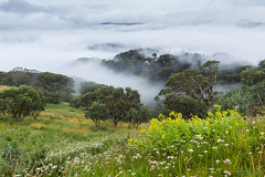 Misty summers day at Mount Buller (Ralph Green) Tags: australia mountbuller victoria victorianhighcountry flowers lowclouds mist trees