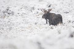 Tough life (Khurram Khan...) Tags: moose wildlife wild wildlifephotography wwwkhurramkhanphotocom winter snow animals iamnikon iloveafrica ilovenature khurramkhan nikonnofilter nationalpark grandtetonnationalpark