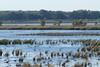 Dixon_JB_043_3191 (Joanne Bouknight) Tags: coot dixonwaterfowlrefuge illinois observationtower thewetlandsinstitute viewfromobservationtower