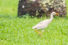 UN AIRONEGUARDABUPI    ----    AN HERON (Ezio Donati is ) Tags: natura nature animali animals uccelli birds foresta forest africa costadavorio ivorycoast bingervillearea