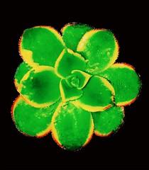 (sydney ☆ singh) Tags: succulent