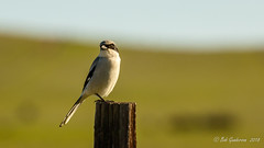 Loggerhead Shrike (Bob Gunderson) Tags: birds california centralvalley grizzleyisland laniusludovicianus loggerheadshrike northerncalifornia rushranch shrikes solanocounty