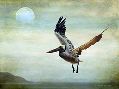 (Monica Muzzioli) Tags: pelican wildlife bird sea bcs textures doubleexposure air fly flying flight coth5