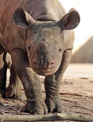 black Rhino Karuna Blijdorp BB2A9131 (j.a.kok) Tags: rhino rhinoceros zwarteneushoorn neushoorn blackrhinoceros blackrhino africa afrika animal blijdorp herbivore babyneushoorn baviaan babyrhino mara mammal zoogdier dier