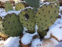 My Three Pads (cogdogblog) Tags: cactus snow