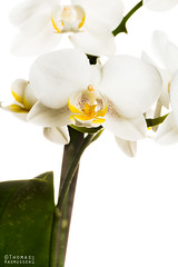 Double white orchid (ThomasMaribo) Tags: flash nikon godox softbox orchidaceae high hi phalaenopsis blooming white 105mm flower flowers