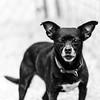 Echo24Feb20188-Edit.jpg (fredstrobel) Tags: dogs pawsatanta phototype atlanta blackandwhite usa animals ga pets places pawsdogs decatur georgia unitedstates us