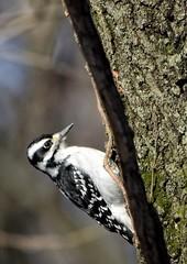DOWNY WOODPECKER (Lisa Plymell) Tags: lisaplymell nikon bird nikond7200 downywoodpecker
