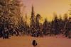 A symphony (evakongshavn) Tags: goldenscape golden light new blahblahscape winterwonderland winter winterlandscape winterwald snow dog 7dwf