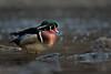 Woody Watching (PhillymanPete) Tags: duck wildlife woodduck nature waterfowl valleygreen wissahickon bird drake wissahickoncreek aixsponsa fairmountpark philadelphia pennsylvania unitedstates us nikon d800e