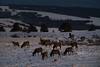someday... (Alvin Harp) Tags: january 2018 elkmountain wyoming elk naturesbeauty sonyilce9 fe70200mmf28 gmoss2x wildlifephotography alvinharp
