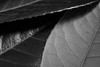 2/52 Flowers in Mono (Suggsy69) Tags: nikon d5200 52weekproject 252 week22018 52weeksin2018 weekstartingmondayjanuary082018 leaves leaf texture blackwhite bw blackandwhite monochrome mono