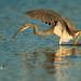 Tricolor Heron (lesleymattuchio) Tags: