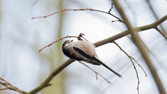 A long tailed tit in search for food (Franck Zumella) Tags: long tailed tit longtailedtit mesange longue queue forest foret bird oiseau animal wildlife tree arbre wood nature beauty