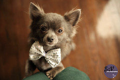 3~52 weeks of Blue - Birthday boy (sgv cats and dogs) Tags: chihuahua birthday blue bowtie gentleman classy 52weeksfordogs