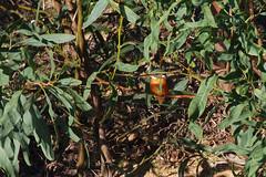 KingFisher_Branch_1 (hawaza) Tags: bird birds kingfisher riaformosa algarve portugal hidingintree onthelookout