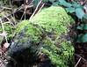 Lichen covered Tree Trunk (jdathebowler Thanks for 1.4 Million + views.) Tags: brearymarsh lichencoveredtreetrunk tree treetrunk