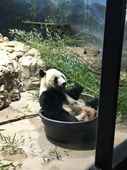I's in my tubby and can't reach the rest of my bamboo! (CSBaltimore) Tags: zoo cub panda bear bei