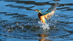 Sploosh (Distinctly Average) Tags: phillluckhurst distinctlyaverage wwwdistinctlyaveragecouk wildlife bird bif kingfisher water town herts hertfordshire canon 7dmark2 100400ii handheld blue orange