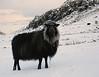 Model posing in wool (Jan Egil Kristiansen) Tags: img2030 sheep ær ewe wool hellurnar faroeislands fashion