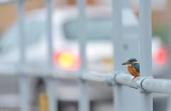 Kingfisher (Benjamin Joseph Andrew) Tags: bird freshwater winter urban town city blue perching looking feeding fishing catch car headlights