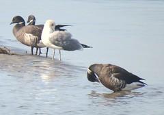 Brant (casparc) Tags: 2018 sandiego brant bird goose