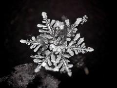 17Jan18Q_single-frame (peterobrien186) Tags: dendrite snow snowflake snowcrystal crystal focus ps stack winter macro nature blackandwhite bw camera digital new white contrast