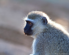 Vervet monkey (leendert3) Tags: leonmolenaar southafrica krugernationalpark wildlife nature mammals vervetmonkey ngc coth5 npc